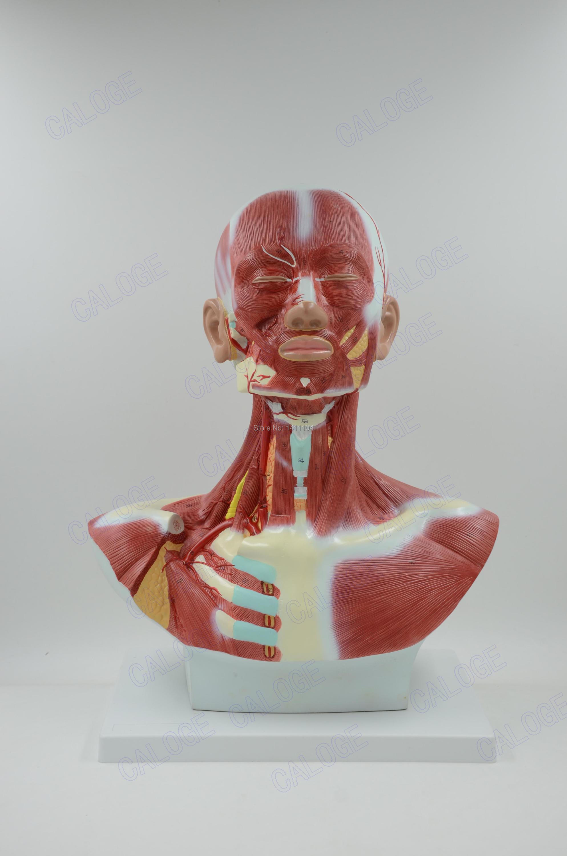 Free Shippinghuman Head Neck And Chest Muscles Anatomical Model Of