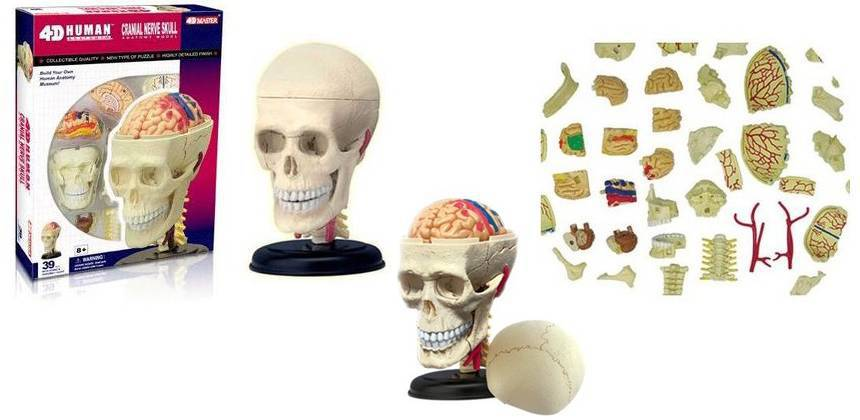 4d Human Organ Anatomy Human Medical Popular Science Assembled Head