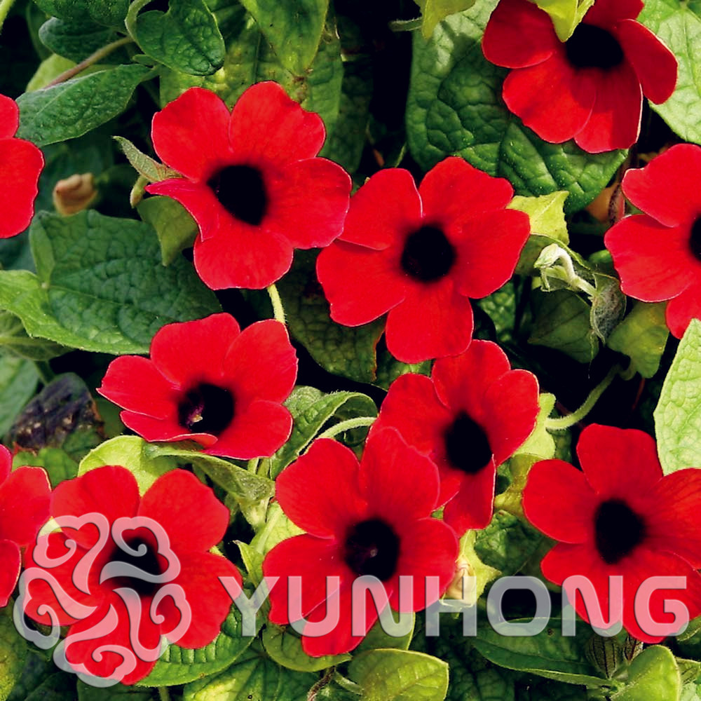 High quality flowering vines seeds promotion shop for high quality beautiful flower thunbergia alata seedscommonly called black eyed susan vine garden decoration plant free shipping 10 pcs dhlflorist Images