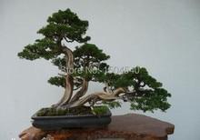Free Shipping Parks, Roads Green Plants, Vertical Beautiful Cypress Seeds, Burning Bush Grass, 20 pcs bonsai