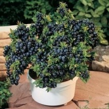 Blueberry Seeds, Edible fruit, 100pcs/pack