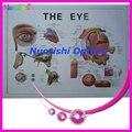 E4604 глазное яблоко модель глаза пластиковые глаза Английский и Китайский подробная инструкция низкие транспортные расходы!