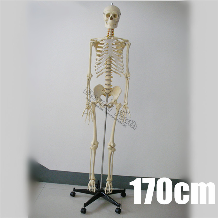 170cm Human Skeleton Life Size Anatomical Model Medical Anatomy Full ...