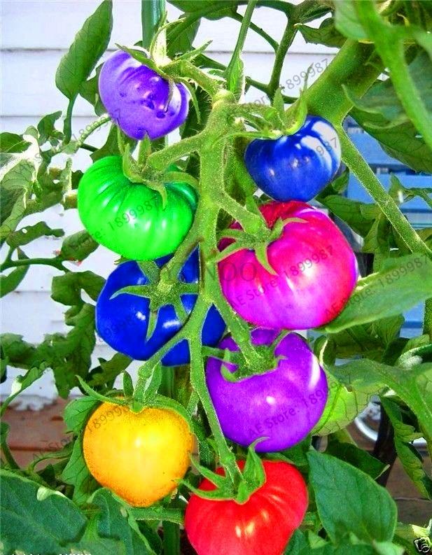 time limit  100pcs rare rainbow tomato plants ornamental pot organic heirloom bonsai vegetables