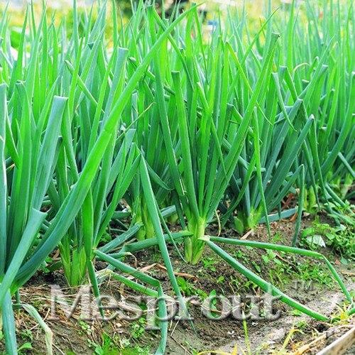 Одинокие корнеплоды питания Малый шалот бонсай 200 шт четыре сезона лук бонсай скальон шалот Chives мини цветок