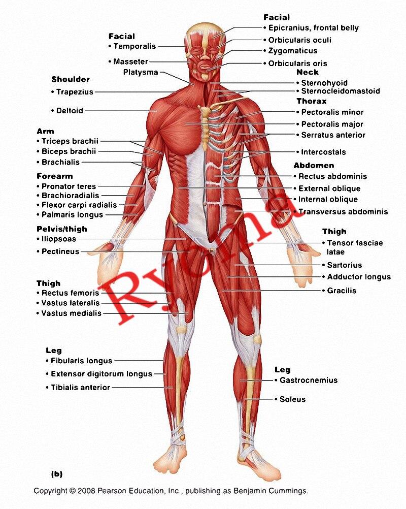 Ročník o lidské muskulatuře Plakáty Kraftový papír Malování - Dekorace interiéru