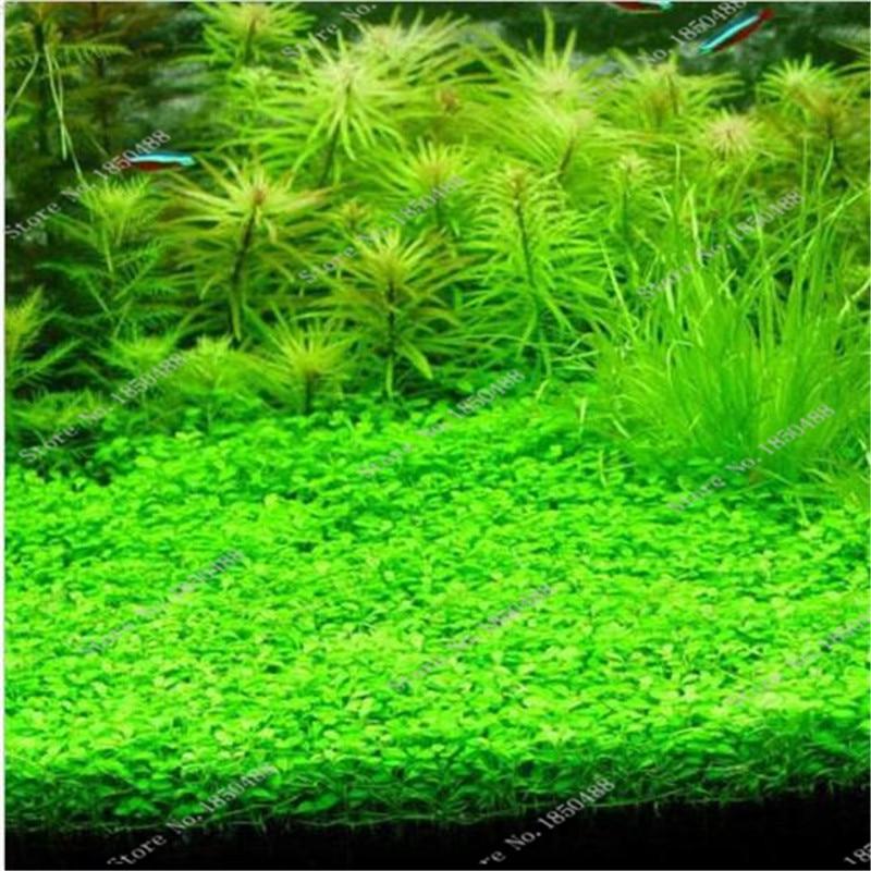 500 pcs bag aquatic plants green water grasses ornamental for Ornamental pond plants
