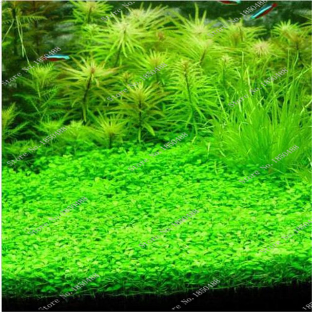 500 pcs bag aquatic plants green water grasses ornamental for Koi pond plants for sale