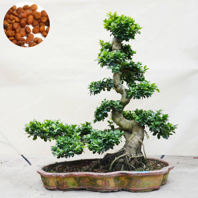 20 pcs exotic bonsai tree banyan tree seed office desk. Black Bedroom Furniture Sets. Home Design Ideas