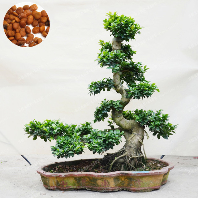 20 pcs exotic bonsai tree banyan tree seed office desk ficus ginseng seed perennial ficus - Bonsai ficus ginseng entretien ...