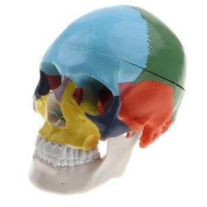 Image 4 - 1:1 crânio esqueleto humano colorido com cérebro adulto cabeça modelo com anatomia da haste do cérebro ferramenta de ensino médico fornecimento