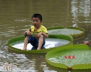 4pcs/bag royal water lily lotus nelumbo Flower  Seeds DIY Home Garden