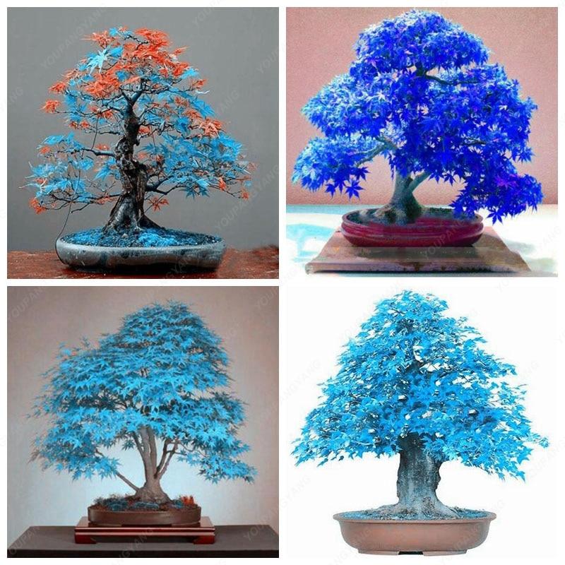 Rare Japanese Tree DIY Very Rare American Blue Maple Bonsai Tree 20 Seeds//Pack