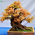 Rare Tree Japanese Maple Flower Seeds Plants Potted Home Garden Springblade Seed Perfume Importado Jardin Rainbow Bonsai