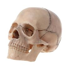 купить 15pcs/set 4D Disassembled Skull Anatomical Model Detachable Medical Teaching Tool по цене 1196.55 рублей