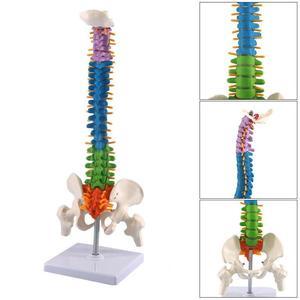 Image 1 - 45CM Farbe Vertikale Wirbelsäule Menschlichen Anatomischen Anatomie modell Medizinische wirbelsäule skelett modell lehre liefert