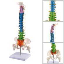 Modelo anatómico humano de espina dorsal Vertical, Color 45CM, modelo de anatomía médica, esqueleto de columna vertebral, suministros de enseñanza