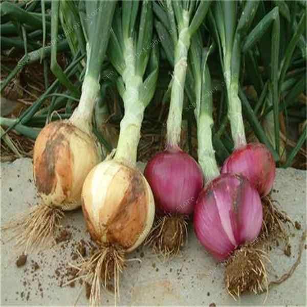 300 قطعة بونساي البصل العملاق ، صدف البصل ، العضوية إرث الفاكهة النباتية غير المعدلة وراثيا النبات ، بونساي أصائص زرع لحديقة المنزل