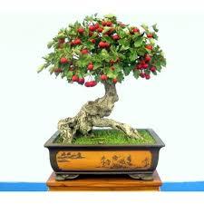 10 Pcs 7dwarf June Japanese Tree Free Shipping