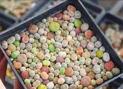 50 Lithops (nicht seads) Wohnzimmer Steine Mesembs echt pflanzen Exotischen Pflanzen Ungewöhnliche Sukkulenten EMS KOSTENLOSER VERSAND