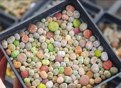 50 Lithops (not seads)  Living Stones Mesembs real plants Exotic Plants Unusual Succulent  EMS FREE SHIPPING