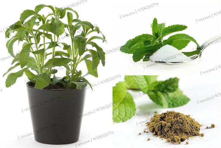 Stevia Bonsais Stevia Herbs Bonsais Green Herb, Stevia Rebaudiana Semillas For Garden Planting - 200 Particles