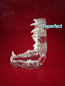 Image 2 - Transparent Resin Dog Anatomical Teeth Teaching Demonstration Veterinary Animal Skeleton Crystal Specimen Dentition Model