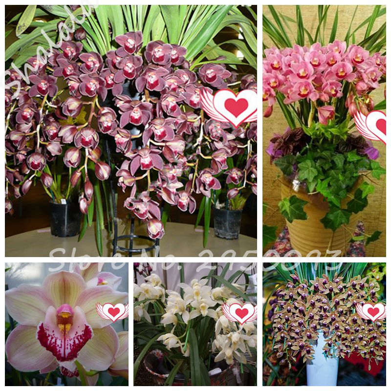 100 Pcs Exotic Cymbidium Flore ,Rainbow Chinese Cymbidium Orchid Flower ,Indoor Bonsai Potted Orquideas Plant Cicada  Flower