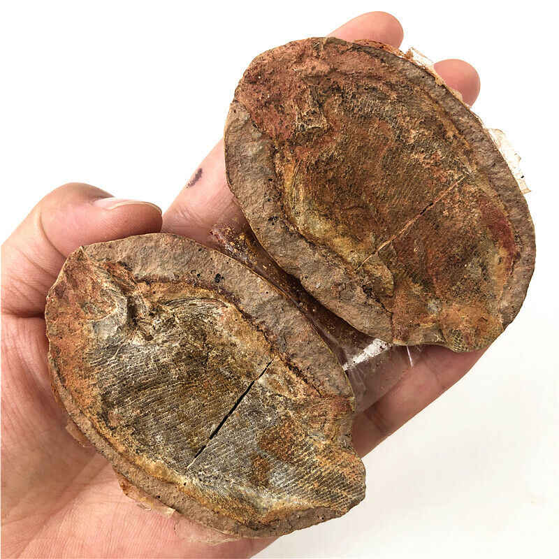 1 Piece Well-preserved Million Year Old Fish Fossils Collection Natural Stones and Minerals