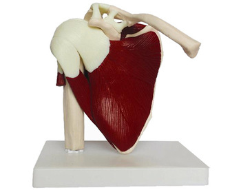 цена на Human skeleton shoulder scapula clavicle muscle model functional joint medical ligament teaching aid