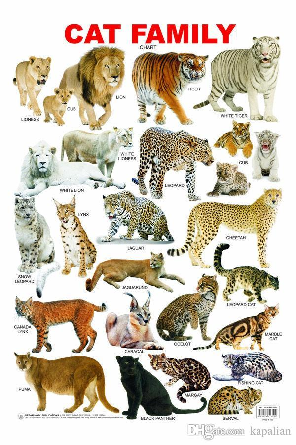 Poster-Animal-Poster-The-Cat-Family-Tige