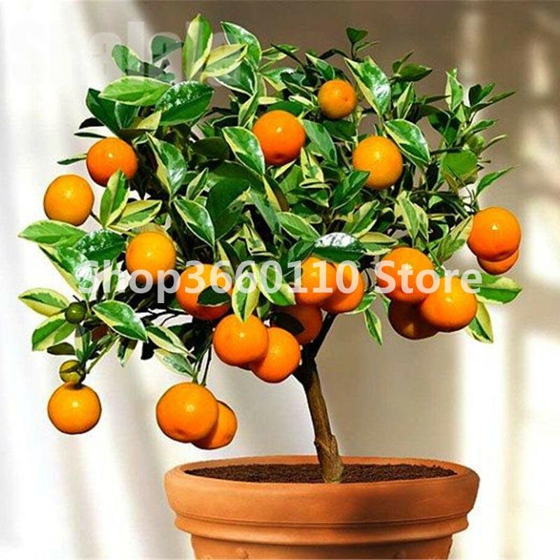 30PCS Bonsai Orange Potted Edible Tangerine Citrus Fruit Dwarf Orange Tree Indoor Plant For Home Garden Plants