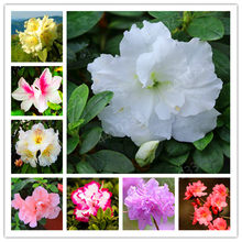 Sales!150Pcs/ bag Rare Rhododendron Azalea Bonsai Looks Like Sakura Japanese Cherry Blooms Flower Potted Plant For Garden Decor(China)