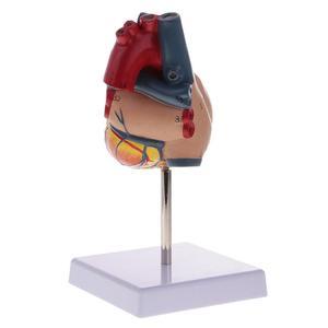 Image 5 - אדם לב אנטומיים האנטומיה מודל רפואי הקרביים Emulational איבר מודלים הוראת מדע צעצוע איידס