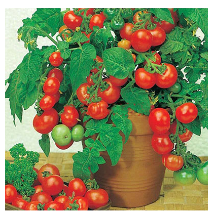 Cherry Tomato Small Tomato Potted Tomatoes Graines A Planterfour Seasons Garden Seed
