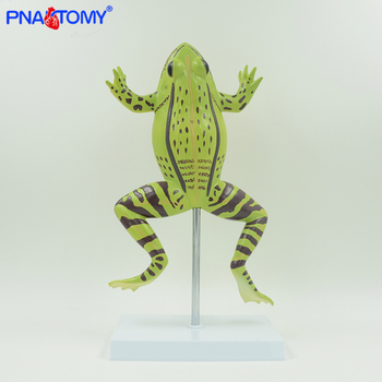 Enlarged frog anatomy model toad and rana model animal anatomical model students studying tool school used experiment kit enlarged skin model