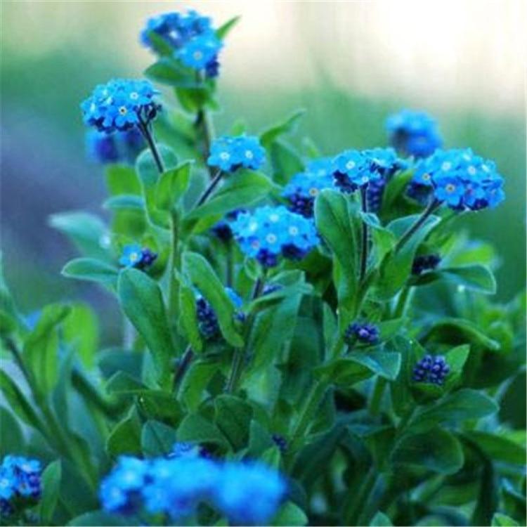 Bulk Forget-me-not Seeds Star Flower Blue Forget-me-not High Quality Myosotis Silvatica Ehrh. Ex Hoffm. 100 Seeds