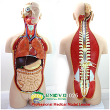 ENOVO Anatomical model of anatomical model of anatomy of human organ system in 85CM колесников л л никитюк д б клочкова с в textbook of human anatomy volume 3 nervous system