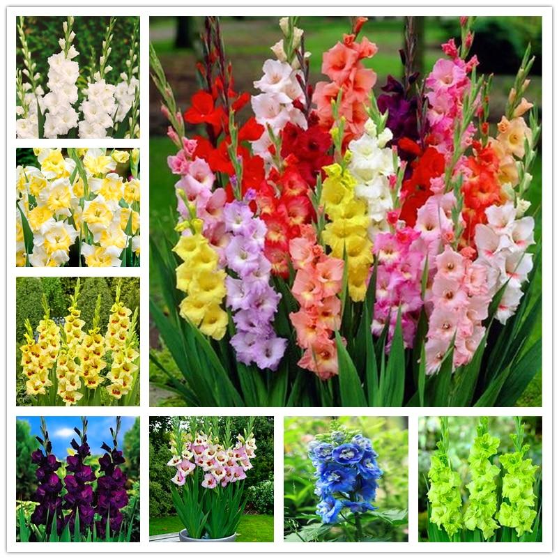 50Pcs Perennial Gladiolus Seeds Garden Nature Plants Home Fragrant Sword Lily flower Essence Lip Mask LB-87