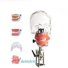 Modelo de cabeça modelo dental simulator4000074621961 modelo de cabeça fantasma com novo estilo bancada montagem para dentista modelo de ensino