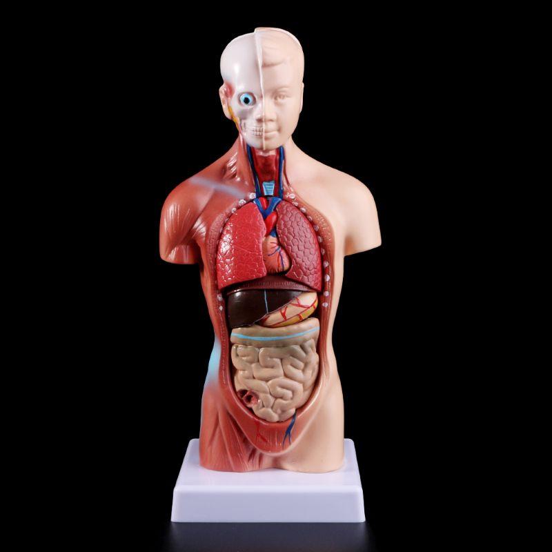 Human Torso Body Model Anatomy Anatomical Medical Internal Organs For Teaching X6HB