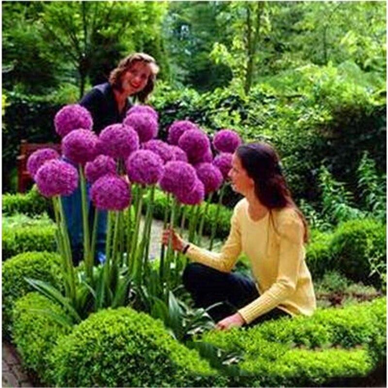 Plant Flower Bath Salts Allium Giganteum Flowers Essence 100Pcs XZZ-250