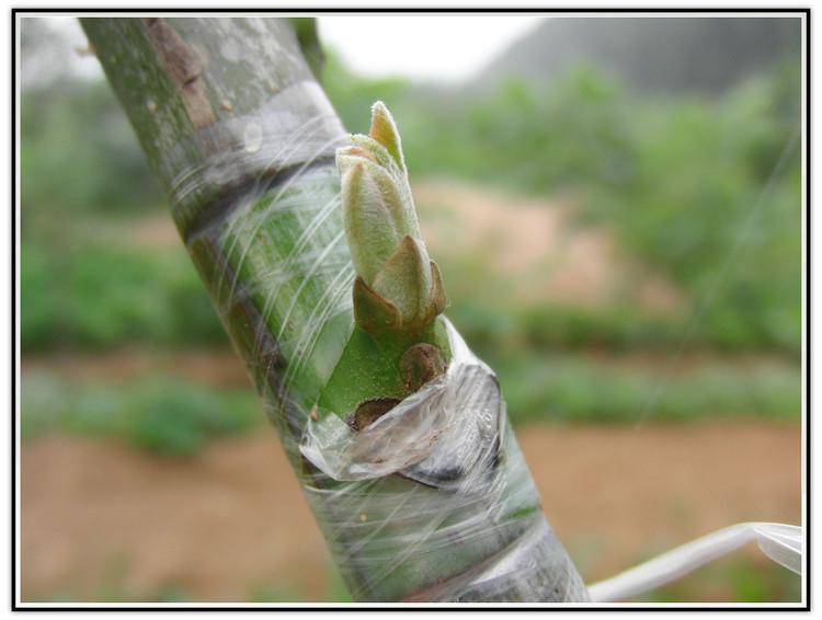 Купить с кэшбэком DishyKooker Eco-friendly Grafting Tape for Garden Branch Strapping
