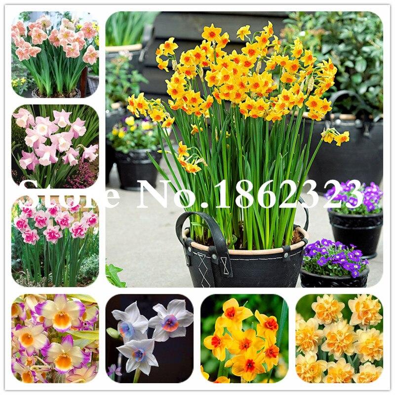 100 adet/torba nergis çiçek, Bonsais Planta sucul bitkiler çift yaprakları pembe nergis çiçek bitkiler ev bahçe dekor için