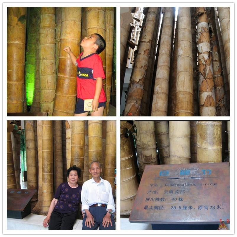100 Pcs / Bag Huge Dragon Bamboo Giant Bambu Tree Outdoor Bonsai Potted Novel Bambusa Lako Plant For Home Garden Planting