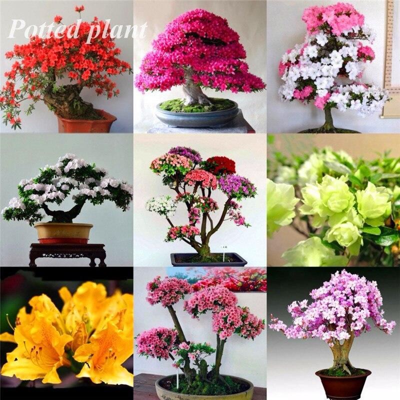 100 Pcs Rare Azalea Bonsai Rhododendron 12 Varieties Diy Home & Garden Plants Looks Like Sakura Japanese Cherry Blooms Flower