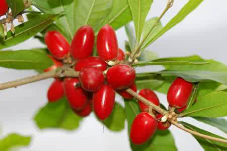 Synsepalum Dulcificum / Miracle Fruit Bonsai National Treasures Of Precious Fruits Interesting Ornamental Plant Decoration