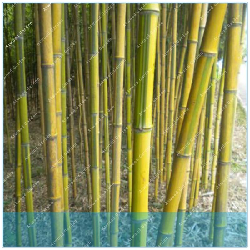 Phyllostachys Aureosulcata Home Garden   Garden Tree Bamboo  Home Garden  Fresh Green Bamboo 50PCS