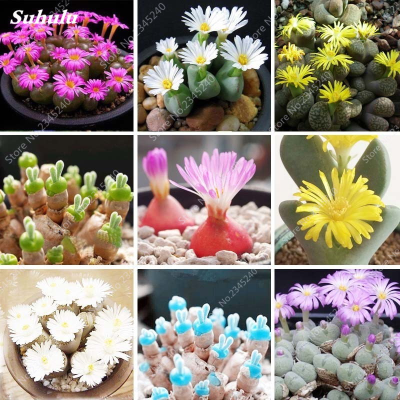 Hot Sale 120 Pcs/ Bag Rare Succulent Plante Bonsai Mix Lithops Pseudotruncatella Living Stone Potted Garden Plant For Flower Pot