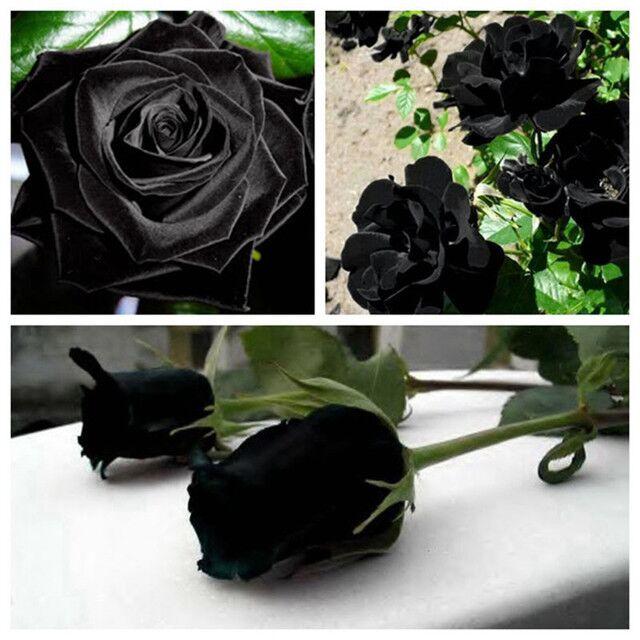 100 Seed Rose Seed Osilla Rose Blue Demon Girl Meteor Shower Red Edge Black Rose Seed Light Blue Rainbow Rose